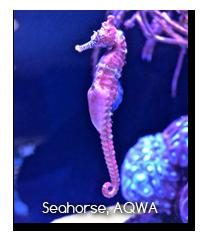 Seahorse at AQWA